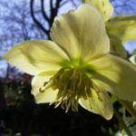 Bild: Schwarze Nieswurz Blüte weiß Helleborus niger