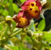 Zurück zum kompletten Bilderset Schwarze Tollkirsche Blüte bräunlich - Atropa belladonna