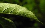 Schwarzer Hollunder Strauch Blatt braun Sambucus nigra 02