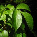 Schwarzer Hollunder Strauch Blatt braun Sambucus nigra 04