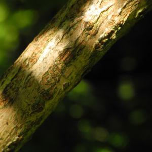 Schwarzer Hollunder Strauch Rinde braun Sambucus nigra 01