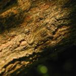 Bild: Schwarzer Holunder Strauch Blüte weiß Sambucus nigra