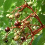 Schwarzer Holunder Blatt Frucht Sambucus nigra 01