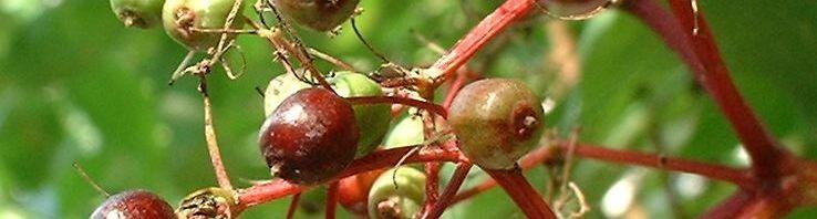 Anklicken um das ganze Bild zu sehen Schwarzer Holunder Blatt Frucht Sambucus nigra