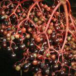Schwarzer Holunder Blatt Frucht Sambucus nigra 03