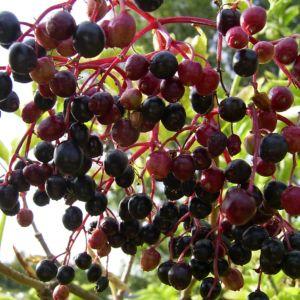 Schwarzer Holunder Frucht Sambucus nigra 01