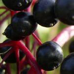 Schwarzer Holunder Frucht Sambucus nigra 02