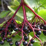 Schwarzer Holunder Frucht Sambucus nigra 03