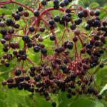 Schwarzer Holunder Frucht Sambucus nigra 04