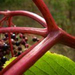 Schwarzer Holunder Frucht Sambucus nigra 06