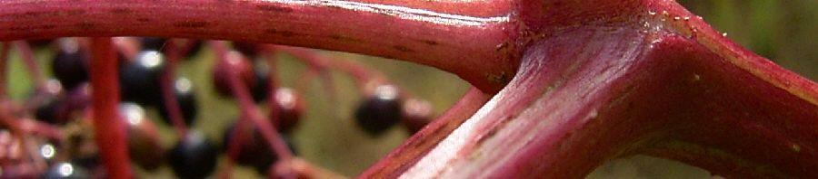 Anklicken um das ganze Bild zu sehen Schwarzer Holunder Frucht schwarz Sambucus nigra