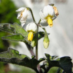 Schwarzer Nachtschatten Bluete weiss Solanum nigrum 01