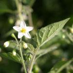 Schwarzer Nachtschatten Bluete weiss Solanum nigrum 04