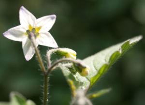 Schwarzer Nachtschatten Bluete weiss Solanum nigrum 06