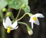 Schwarzer Nachtschatten Bluete weiss Solanum nigrum 08