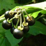 Schwarzer Nachtschatten Solanum nigrum 01