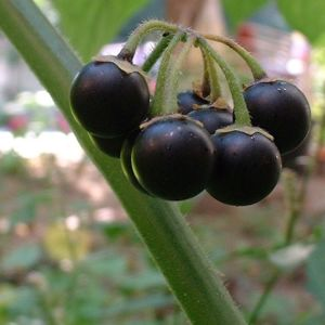 Schwarzer Nachtschatten Solanum nigrum 02