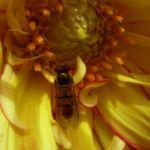 Schwebfliegen Syrphidae Episyrphus balteatus 02