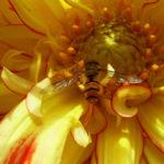 Schwebfliegen Syrphidae Episyrphus balteatus 03
