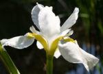 Schwertlilie Iris Bluete weiss Iris rhizomiris 01