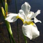 Schwertlilie Iris Bluete weiss Iris rhizomiris 02
