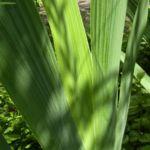 Schwertlilie lila Bluete Iris 05