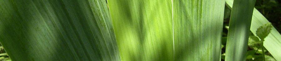 Anklicken um das ganze Bild zu sehen Schwertlilie lila Blüte Iris