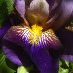 Schwertlilie lila Bluete Iris 07
