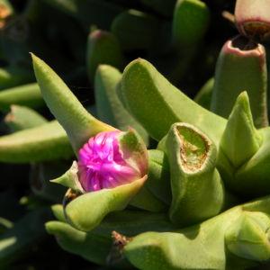 Seefeige Blatt gruen Carpobrotus aequilaterus 07
