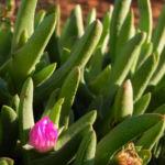 Bild: Seefeige Blüte pink Carpobrotus aequilaterus