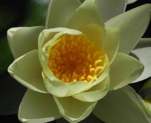 Seerose Bluete gelb Nymphaea Pygmaea Helvola 04