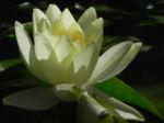 Seerose Bluete gelb Nymphaea Pygmaea Helvola 05