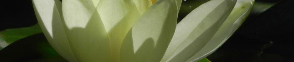 Anklicken um das ganze Bild zu sehen Weiße Seerose Blüte gelb Nymphaea alba