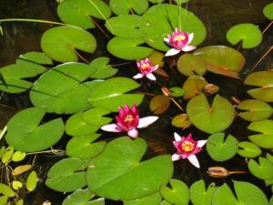 Bild: Seerose Bluete rot Nympaea Froebelii
