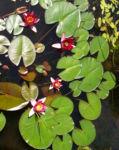 Seerose Bluete rot Nympaea Froebelii 07