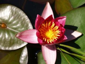 Seerose Bluete rot Nympaea Froebelii 12