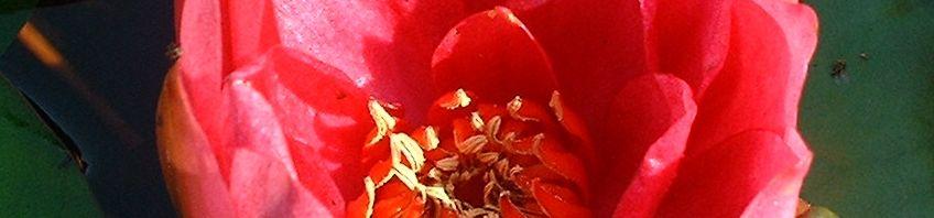 Anklicken um das ganze Bild zu sehen Zwerg-Seerose Blüte rot Nymphaea froebelii