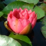 Seerose rot Nympaea froebelii 04