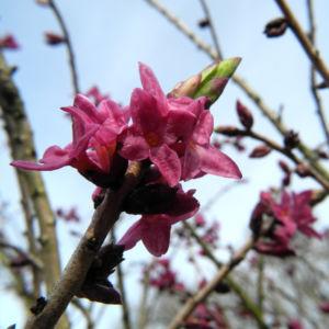 Seidelbast Bluete pink Daphne mezereum 04