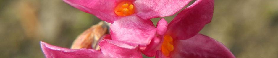 Anklicken um das ganze Bild zu sehen  Echter-Seidelbast Blüte pink Daphne mezereum