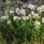 Seifenkraut Saponaria Blueten hellrosa Saponaria officinalis 01