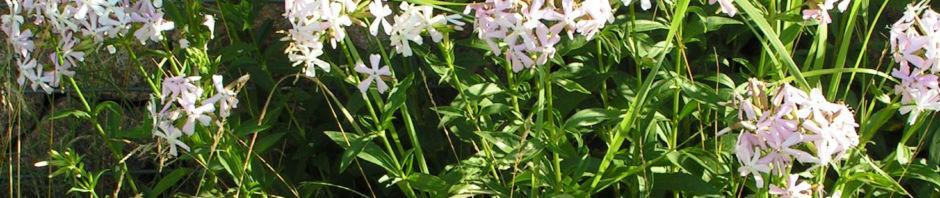 seifenkraut-saponaria-blueten-hellrosa-saponaria-officinalis