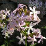Seifenkraut Saponaria Blueten hellrosa Saponaria officinalis 02