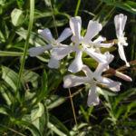 Seifenkraut Saponaria Blueten hellrosa Saponaria officinalis 04