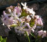 Seifenkraut Saponaria Blueten hellrosa Saponaria officinalis 05