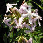 Seifenkraut Saponaria Blueten hellrosa Saponaria officinalis 06
