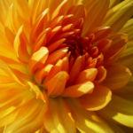 Bild: Semikaktus Dahlie orange Dahlia