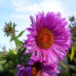 Septemberkraut Myrtenaster Aster ericoides 04