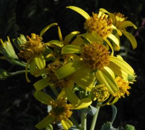 Showy Groundsel Bluete gelb Senecio magnificus 14