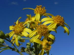 Showy Groundsel Bluete gelb Senecio magnificus 17